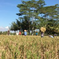 Neighbouring Rice Paddies Exploration Omah Apik